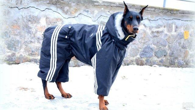 Доберман в спортивном костюме на прогулке