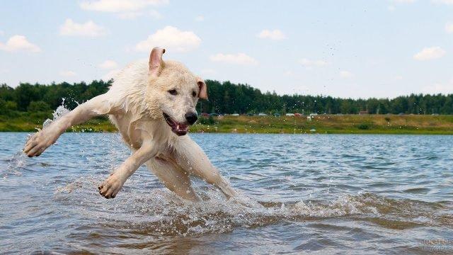 Лабрадор плещется в водоёме