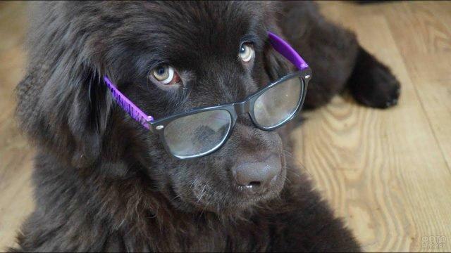 Ньюфаундленд в очках с профессорским видом