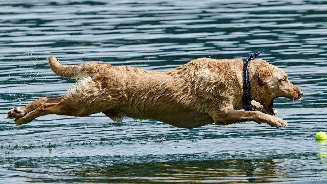 Пёс лабрадор в прыжке за мячом