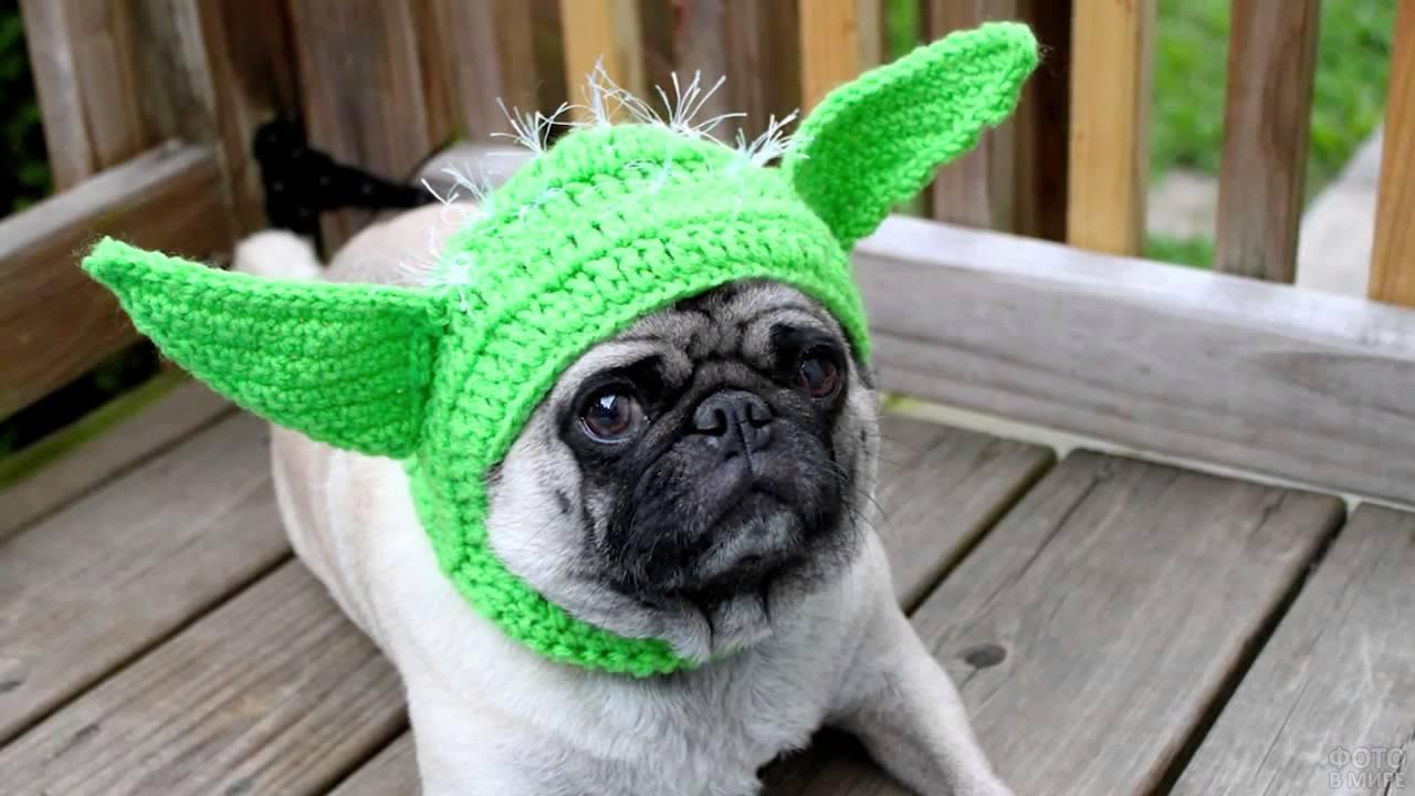 Пёс мопс в зелёной шапке Мастера Йоды