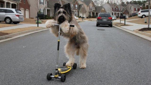 Пёс за рулём самоката