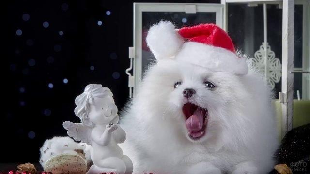 Собака самоед зевнула на фотосессии