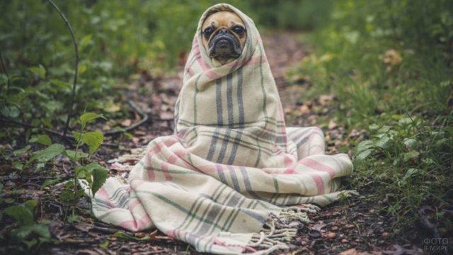 Укутанный в одеяло мопс на природе