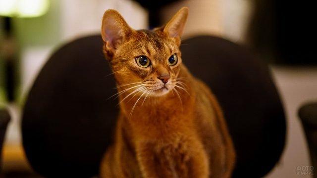 Абиссинская кошка смотрит вопросительным взглядом
