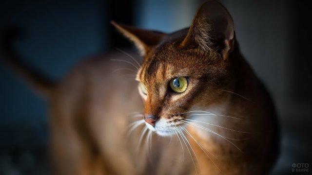 Абиссинский кот с жёлтыми глазами