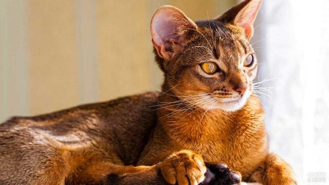 Абиссинский кот в лучах солнечного света