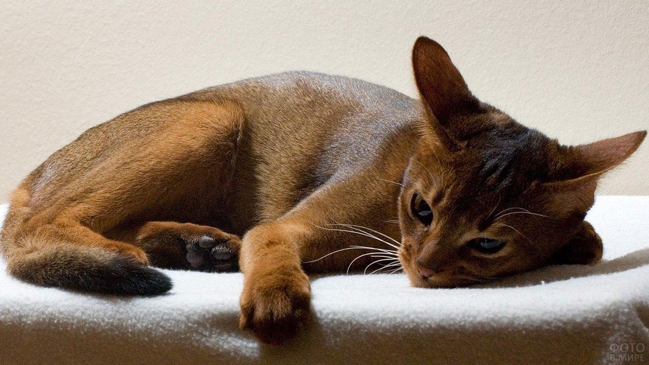 Абиссинский котя отдыхает на подставке