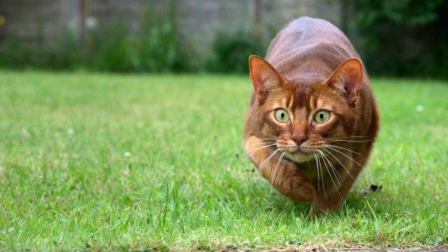 Абиссинский котя с выпучинными глазами шагает по газону