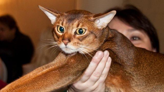 Хозяйка демонстрирует абиссинского кота