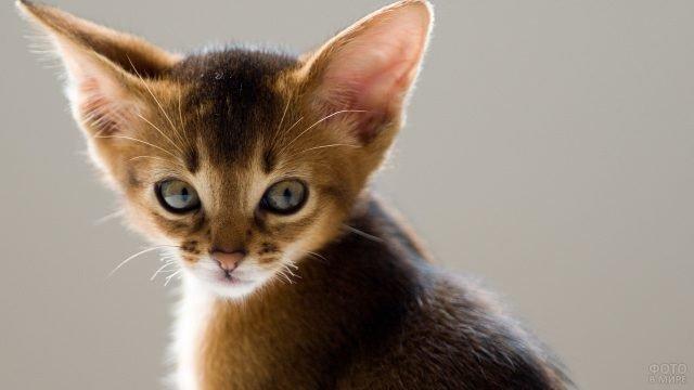 Котёнок абиссинской породы на сером фоне