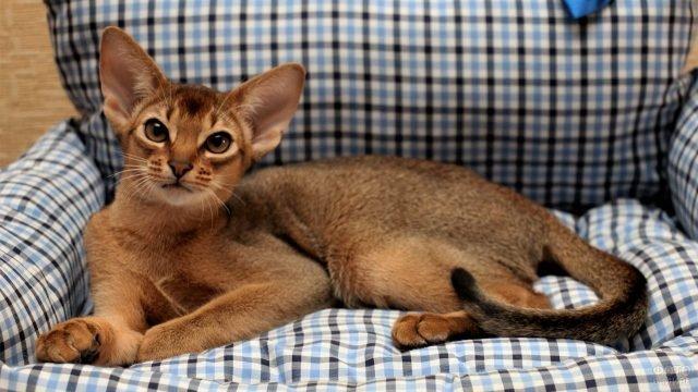Молодая абиссинская кошечка на клетчатом кресле