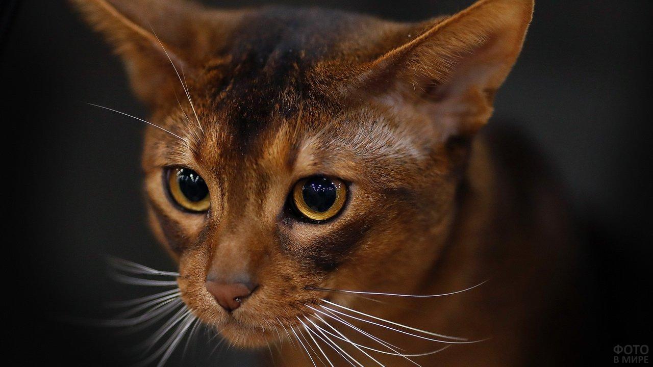 Мордочка абиссинского котика с белыми усами