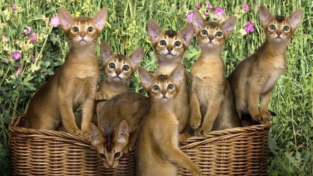 Семь абиссинских котят сидят в плетёной корзине