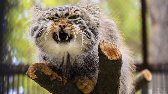 Агрессивный манул на спиленном дереве в зоопарке