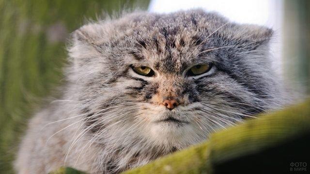 Хмурый кот манул