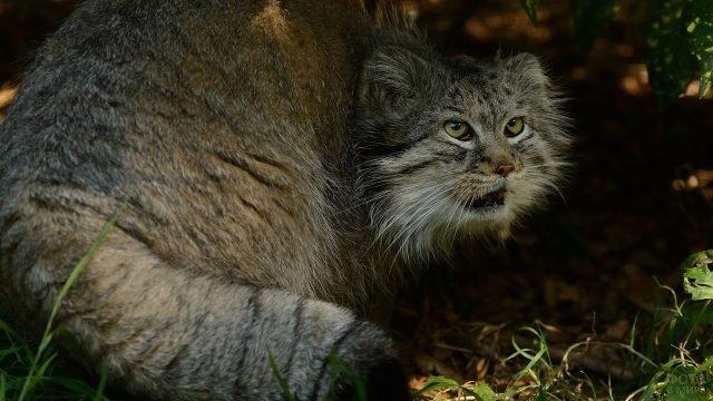 Кошка манул сидит на траве открыв пасть