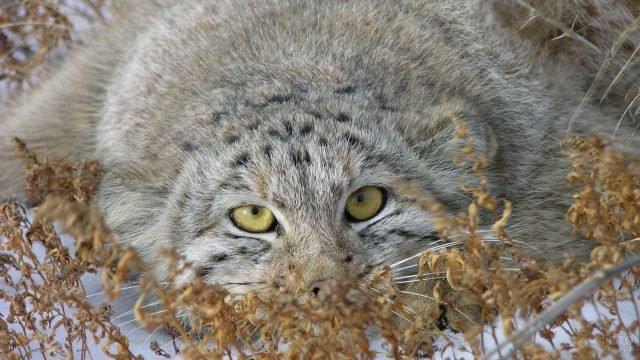 Кошка манул выглядывает из сухой травы