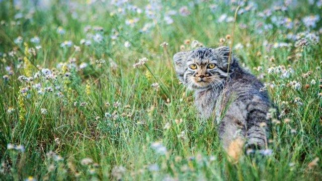 Кот манул гуляет по цветочному полю