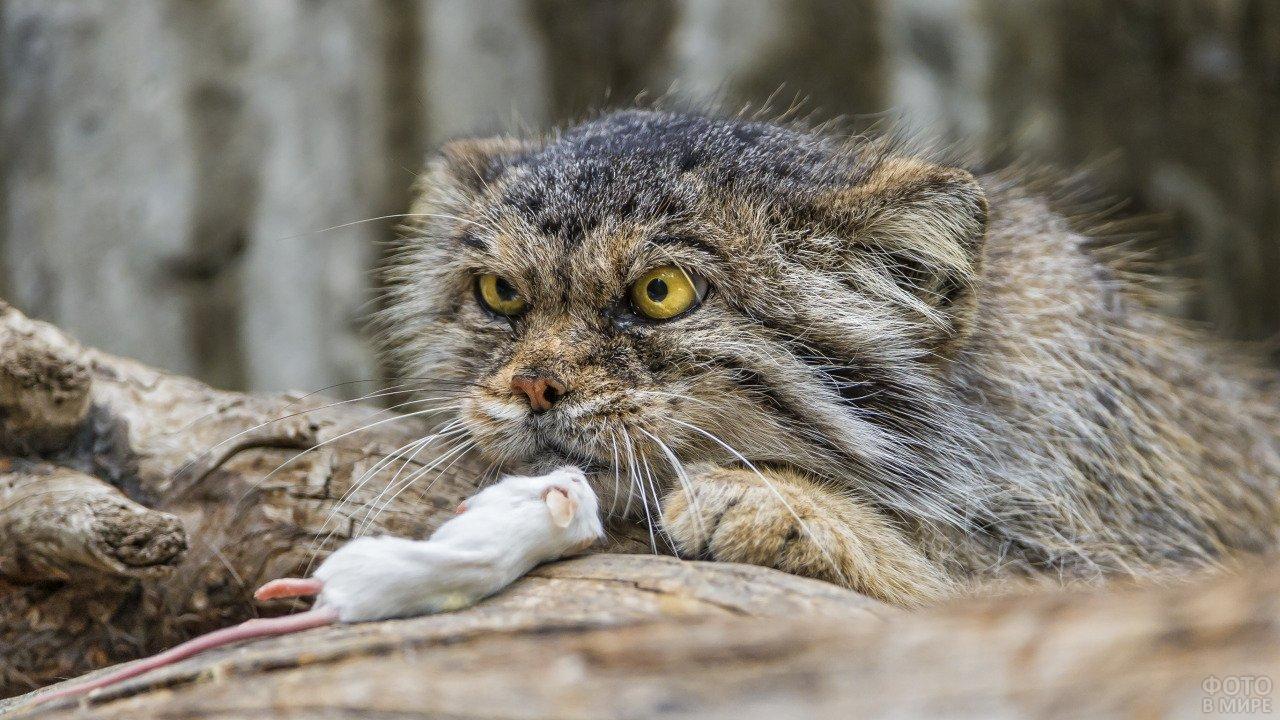 Кот манул со своей добычей