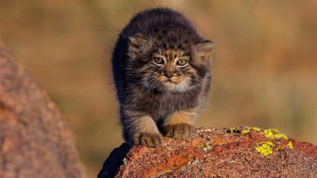Малыш манул стоит на камнях