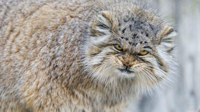 Палласов кот со злобным взглядом