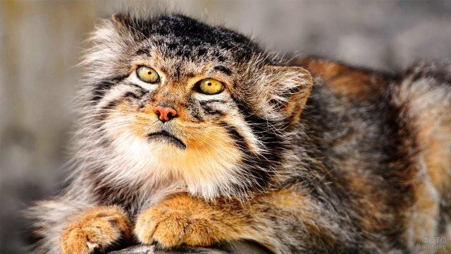 Рыженький кот манул сидит сложив вместе лапки