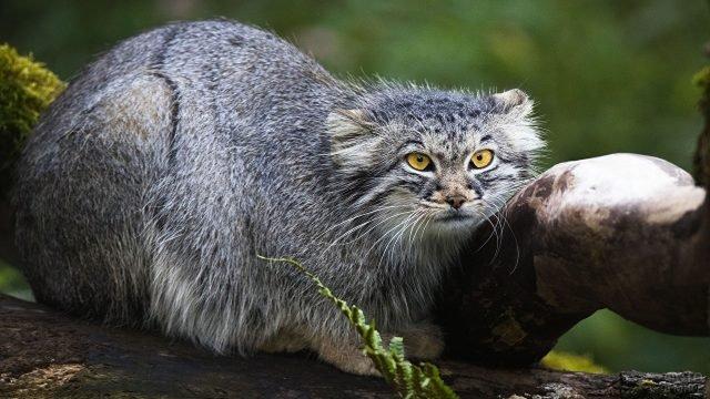 Серый манул положил голову на дерево