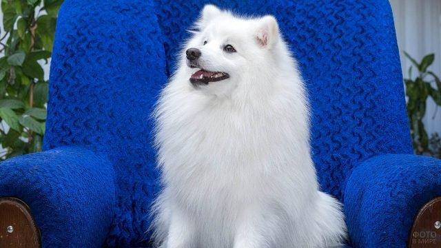 Белый пёс в синем кресле