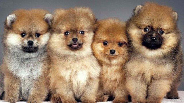Четыре милых щенка шпица