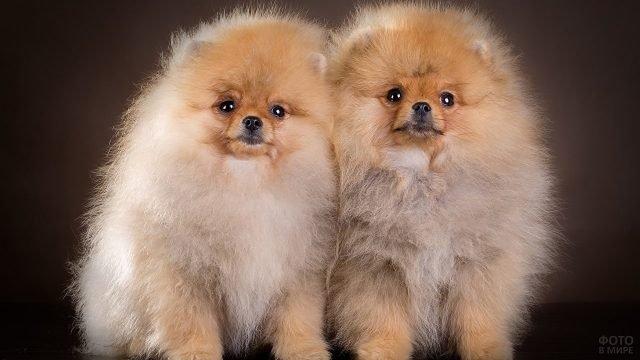Пара собачек позирует в студии