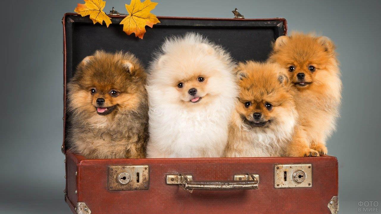 Пёсики в чемодане позируют в студии