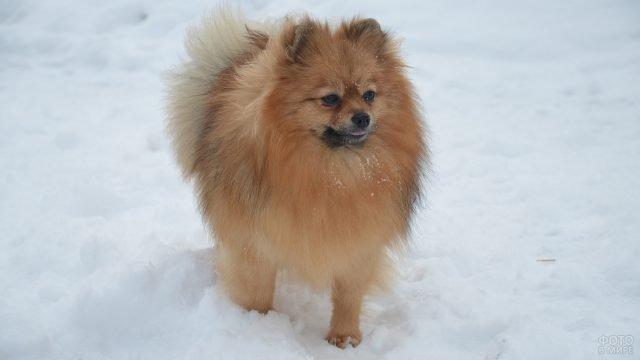 Собачка на прогулке зимой