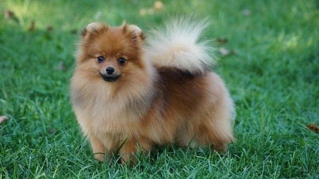 Собака весело смотрит, стоя на лужайке
