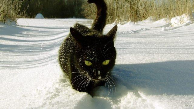 Чёрная кошка в снегу гуляет