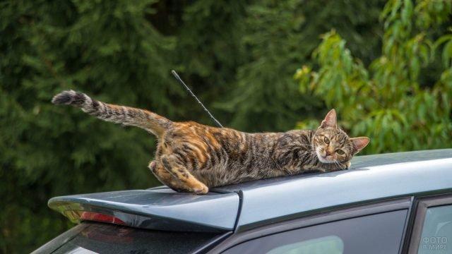 Кошка на крыше автомобиля