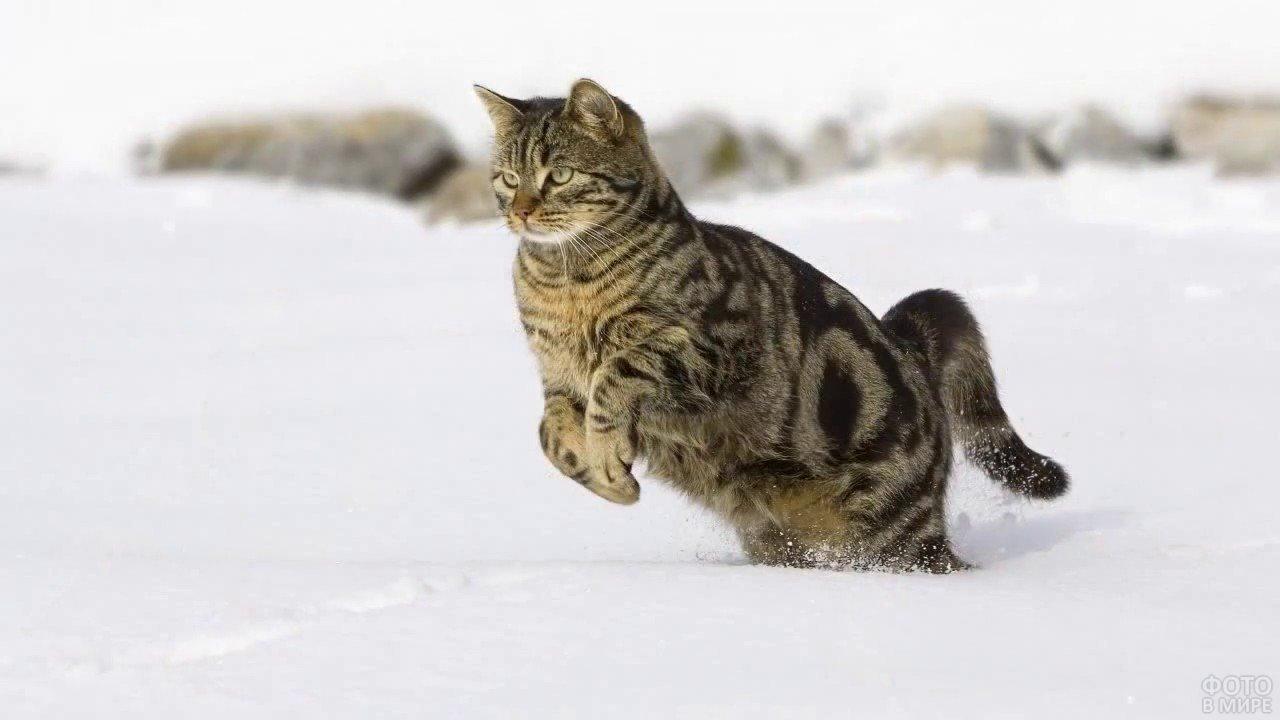 Полосатая кошка прыгает в снег