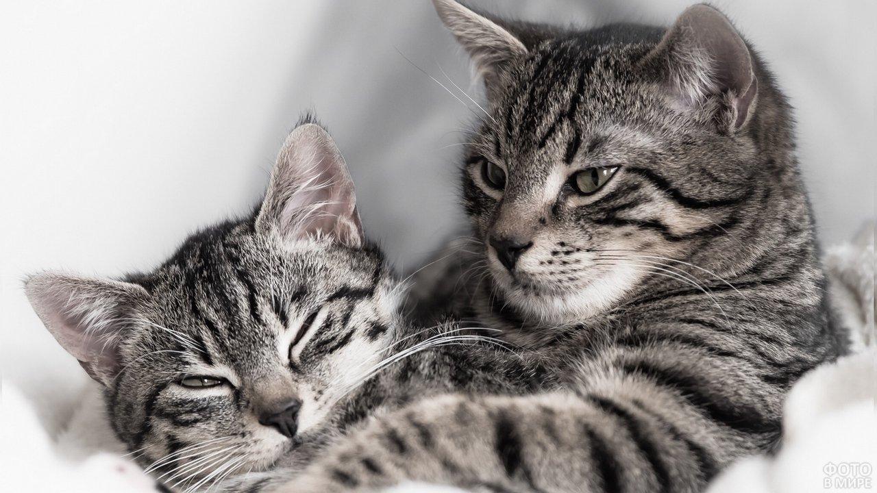 Полосатые кошки нежатся