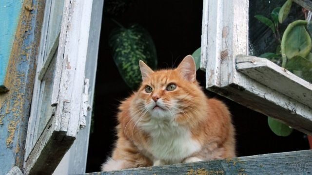 Рыжая кошка смотрит из окна