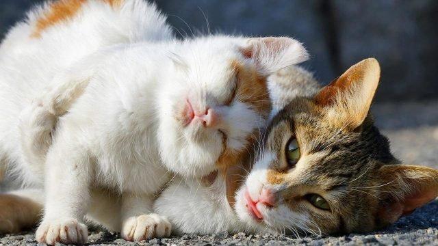 Рыжий котёнок трётся о кошку