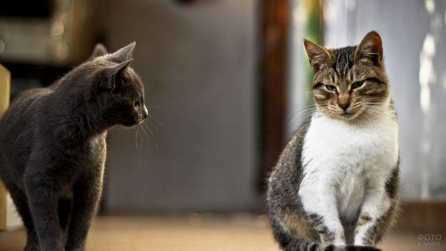 Серый кот глядит на бело-серую кошку