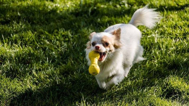 Чихуахуа играет с игрушкой на улице