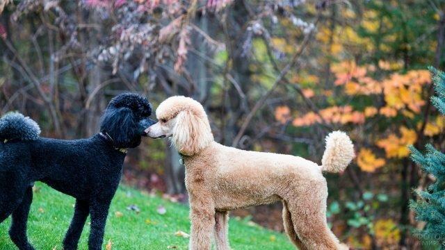Пара собак породы пудель на прогулке
