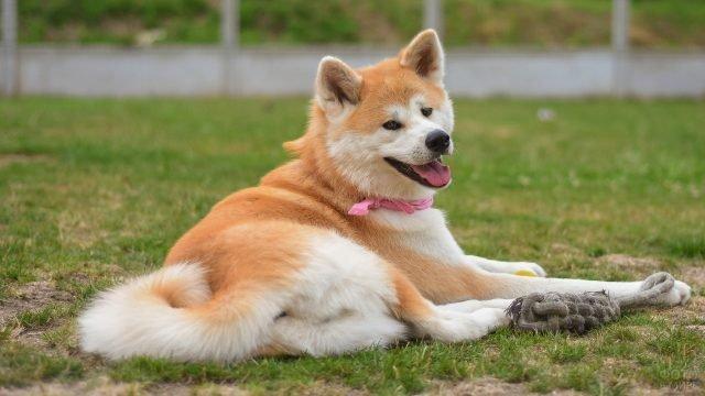 Сиба ину отдыхает на траве