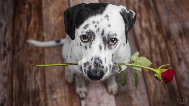 Собака породы далматинец с цветком в зубах