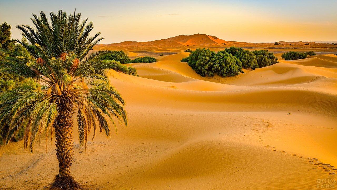 Пальма на фоне панорамы пустыни Сахара в Марокко