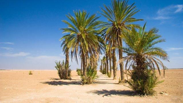 Пальмовая аллея в пустыне Сахара на территории Марокко