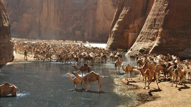 Верблюды на водопое у гельты ДэАршей в пустыне Сахара