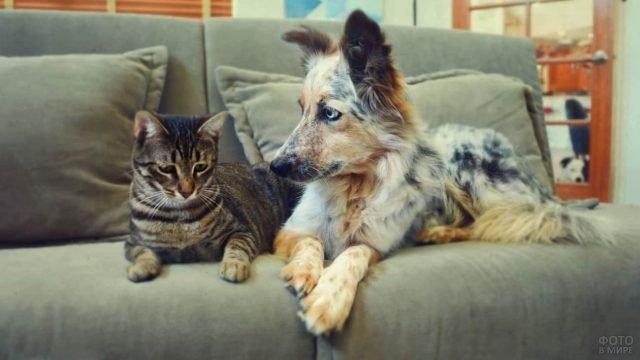 Аусси и полосатый кот лежат на диване