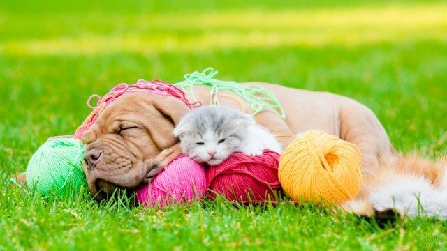 Бордоский дог спит в клубках ниток с вислоухим котёнком
